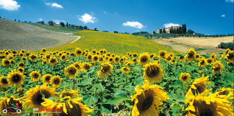 A sunflower field from one of our motorcycle tour in Tuscany from Rome